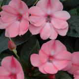 Impatiens SunPatiens® Compact Blush Pink