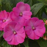 Impatiens SunPatiens® Compact Lilac