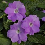 Impatiens SunPatiens® Compact Orchid