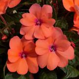 Impatiens SunPatiens® Compact Coral Pink