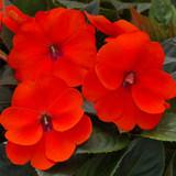 Impatiens SunPatiens® Compact Orange