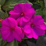 Impatiens SunPatiens® Compact Purple