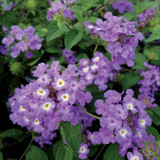 Lantana Luscious® Grape