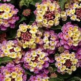 Lantana Luscious® Pinkberry Blend™