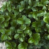 Ligustrum Rotundifolium (Privet Curly Leaf)