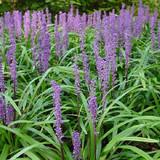 Liriope Royal Purple (Monkey Grass)