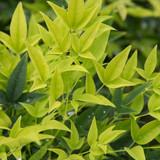 Nandina Lemon Lime