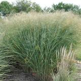 Panicum Cloud Nine (Tall Switch Grass)