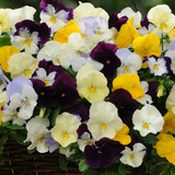 Pansy Cool Wave® Mix Hanging Basket