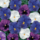 Pansy Delta™ Cool Water Mix
