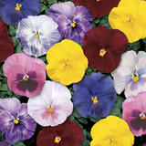 Pansy Delta™ Monet Mix