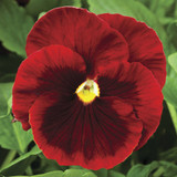 Pansy Delta™ Premium Red with Blotch