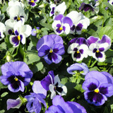 Pansy Majestic Giants II Sea Breeze