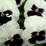 Pansy Majestic Giants II White With Blotch