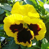 Pansy Majestic Giants II Yellow with Blotch