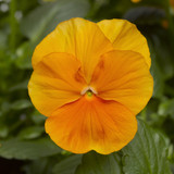 Pansy Delta™ Premium Pure Orange