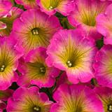 Petunia Supertunia® Daybreak Charm