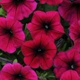 Petunia Shock Wave® Deep Purple