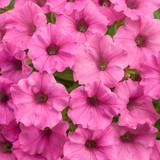 Petunia Supertunia® Mini Vista Hot Pink