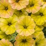 Petunia Supertunia® Honey™