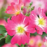 Rose Pink Drift®