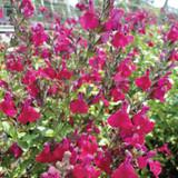 Salvia Heatwave™ Blaze