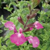 Salvia Heatwave™ Sparkle