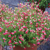 Salvia Little Kiss