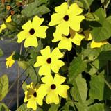 Thunbergia Sunny™ Lemon Star (Black-Eyed Susan Vine)