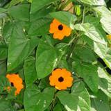 Thunbergia Sunny™ Orange Wonder (Black-Eyed Susan Vine)