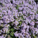 Thymus Magic Carpet (Creeping Thyme)