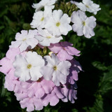 Verbena Endurascape™ White Blush