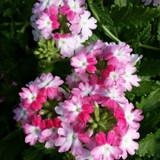 Verbena Lanai® Twister Pink