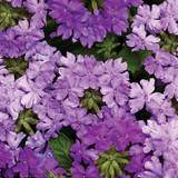 Verbena Superbena® Large Lilac Blue