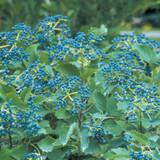 Viburnum Blue Muffin®