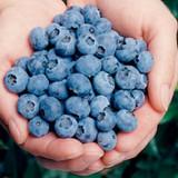 Vaccinium Elliott (Blueberry)
