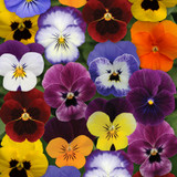 Viola Sorbet® XP Autumn Select Mix