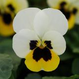 Viola Sorbet® XP Lemon Ice Blotch