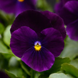Viola Sorbet® XP Purple