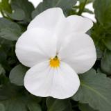 Viola Sorbet® XP White