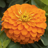 Zinnia Magellan™ Orange