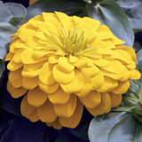 Zinnia Magellan™ Yellow