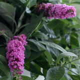 Buddleia Lo & Behold® Pink Micro Chip