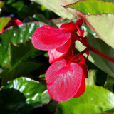 Begonia Whopper® Red With Green Leaf