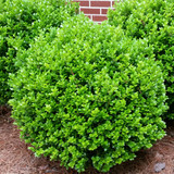 Buxus Winter Gem