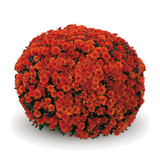 Belgian Mums® Conaco Orange