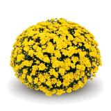 Belgian Mums® Conaco Yellow