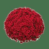 Belgian Mums® Lava Red