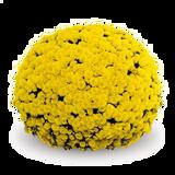 Belgian Mums® Mouria Yellow