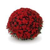 Belgian Mums® Savona Red